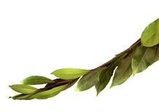 Il ramo verde di alloro su un bianco ha isolato il fondo Immagine Stock