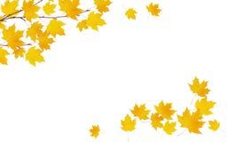 Il ramoscello dell'acero di autunno con giallo lascia nelle disposizioni d'angolo Immagine Stock Libera da Diritti