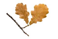 Il ramoscello della quercia di autunno su bianco Immagini Stock