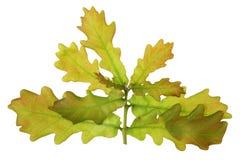Il ramoscello di un albero di April European Oak della molla con piccolo tenero Fotografie Stock