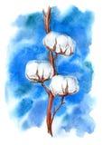 Il ramoscello di un cotone fiorisce su un fondo blu Fotografia Stock