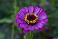 Il ramoscello fresco della zinnia rosa fiorisce il fiore della fioritura nel giardino Fotografia Stock Libera da Diritti
