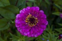 Il ramoscello fresco della zinnia rosa fiorisce il fiore della fioritura nel giardino Immagini Stock