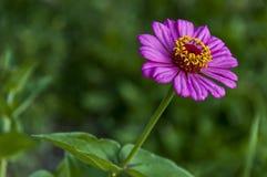 Il ramoscello fresco della zinnia rosa fiorisce il fiore della fioritura nel giardino Immagine Stock