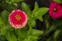 Il ramoscello fresco della zinnia rosa fiorisce il fiore nel giardino, Sofia della fioritura Immagine Stock Libera da Diritti