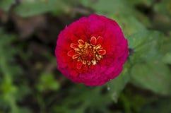 Il ramoscello fresco della zinnia rosa fiorisce il fiore nel giardino, Sofia della fioritura Fotografia Stock