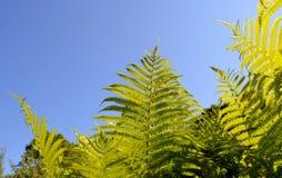 Il ramoscello verdeggiante della felce va su priorità bassa di cielo blu immagini stock