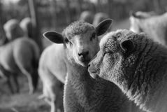 Il ranch in bianco e nero dell'azienda agricola dell'Ungheria della lana dei capelli della pelliccia delle pecore di Lamm pets du Immagine Stock
