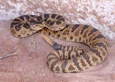 Il Rattlesnake si è arrotolato, sconcertando e ready per direzione Fotografia Stock Libera da Diritti