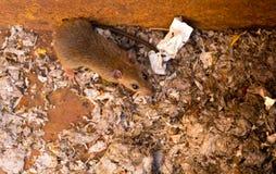 Il ratto è nello scarico di disordine Fotografia Stock