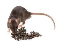 Il ratto divertente mangia i semi di girasole isolati su bianco Immagini Stock Libere da Diritti