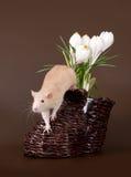 Il ratto domestico fiuta i croco della molla fotografia stock
