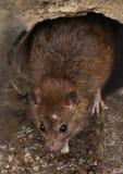 Il ratto su una fogna potrebbe ape veduta dalla griglia dello scolo immagine stock libera da diritti