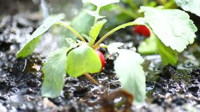 Il ravanello rosso maturo che cresce nella terra è innaffiato archivi video