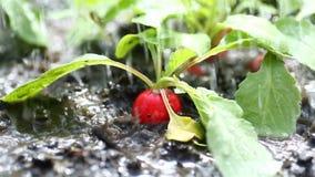 Il ravanello rosso maturo che cresce nella terra ? innaffiato archivi video