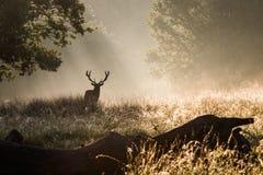Il re della foresta fotografie stock