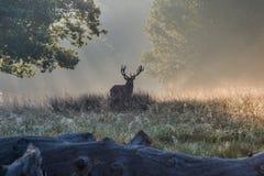 Il re della foresta immagini stock libere da diritti