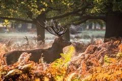 Il re della foresta immagine stock