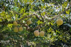 Il re di frutta è durian fresco e maturo fotografie stock libere da diritti