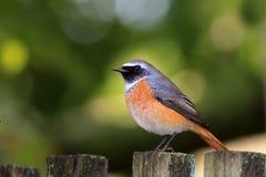 Il Redstart maschio Immagini Stock Libere da Diritti