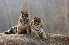 Il resto del maschio e delle tigri femminili dell'Amur immagini stock libere da diritti