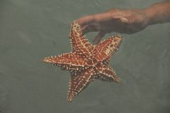 Il reticulatus di Oreaster delle stelle marine ha tenuto a disposizione, preso nel del Toro di Bocas nei Caraibi nel Panama immagini stock