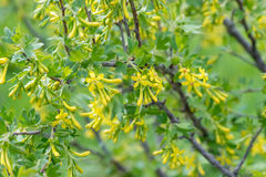 Il ribes è dorato - una bacca rara e un arbusto decorativo Fotografia Stock Libera da Diritti