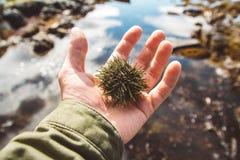 Il riccio di mare è sulla mano Chiuda su delle spine dorsali del riccio di mare con il mare nei precedenti immagine stock libera da diritti
