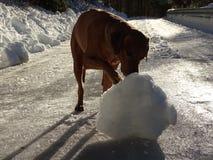 Il ridgeback di Rhodesian del cane e la palla di neve Immagini Stock Libere da Diritti