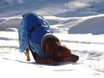Il ridgeback di Rhodesian del cane sta giocando sulla strada nevosa Fotografia Stock Libera da Diritti