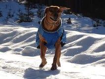 Il ridgeback di Rhodesian del cane sta giocando sulla strada nevosa Fotografia Stock