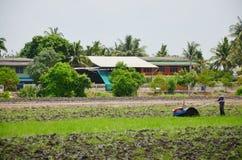 Il rimorchio del trattore e del rimorchio di uso dell'agricoltore sulla risaia e sul riso sistema Fotografia Stock Libera da Diritti