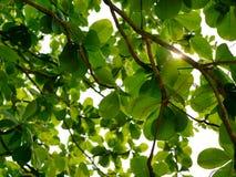 Il rinfresco verde si ramifica con le foglie del terminalia catappa indiano del mandorlo contro il cielo luminoso di pomeriggio Fotografie Stock Libere da Diritti