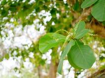 Il rinfresco verde si ramifica con le foglie del terminalia catappa indiano del mandorlo contro il cielo luminoso di pomeriggio Fotografie Stock