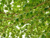 Il rinfresco verde si ramifica con le foglie del terminalia catappa indiano del mandorlo contro il cielo luminoso di pomeriggio Fotografia Stock Libera da Diritti