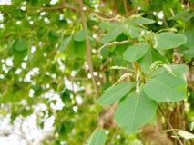 Il rinfresco verde si ramifica con le foglie del terminalia catappa indiano del mandorlo contro il cielo luminoso di pomeriggio Immagine Stock