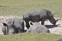 Il rinoceronte immagine stock
