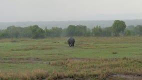 Il rinoceronte africano adulto entra in cespugli da The Field a causa di Heavy Rain archivi video