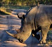 Il rinoceronte attraversa la strada Fotografia Stock