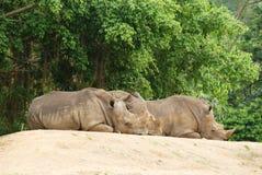 Il rinoceronte del gruppo fotografia stock libera da diritti