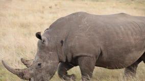Il rinoceronte maschio con il grande corno cammina attraverso le pianure stock footage