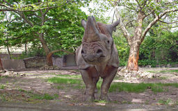 Il rinoceronte nero Immagine Stock Libera da Diritti