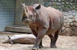 Il rinoceronte nero Fotografia Stock