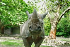 Il rinoceronte nero Fotografia Stock Libera da Diritti