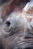 Il rinoceronte nero Fotografie Stock