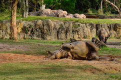 Il rinoceronte sta prendendo il bagno di fango Immagini Stock