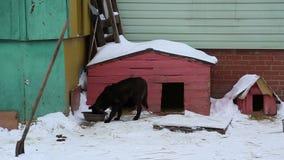Il riparo animale, cane mangia dalla ciotola vicino al canile stock footage