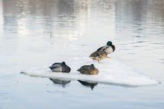 Il riposo sonnolento ducks sul primo piano della banchisa, ghiaccio di spostamento sul fiume Inverno, molla in città stagioni Arr Fotografia Stock