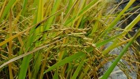 Il riso è conosciuto per venire in una varietà Fotografia Stock Libera da Diritti