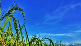 Il riso è la mia vita Immagini Stock Libere da Diritti